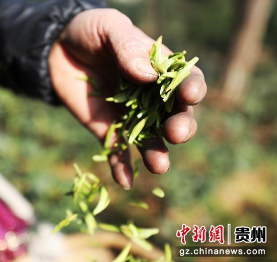 图为村民采摘的茶叶。李鹤  摄
