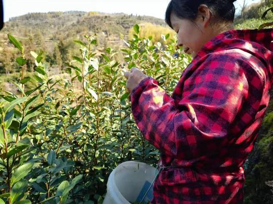 茶农正在采茶。刘曦 摄