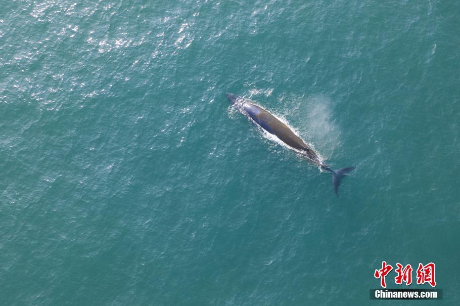 广西北海:布氏鲸海面游弋