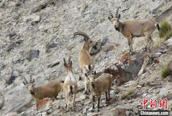 近年来帕米尔高原生态环境持续改善,野生动物种群数量明显增加。塔县县委宣传部供图