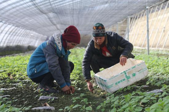 一师七团职工采摘羊肚菌 300元每公斤远销成都