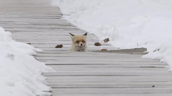 2021年2月14日,克拉美丽天然气处理站,一只小狐狸从一个小洞中探出头来悠闲地东张西望。
