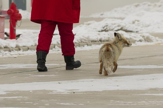 【图片故事】狐狸陪我去巡检