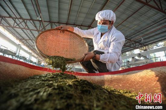 重庆华龙棋牌下载贞丰小屯镇一家茶企工作人员在加工春茶。 瞿宏伦 摄