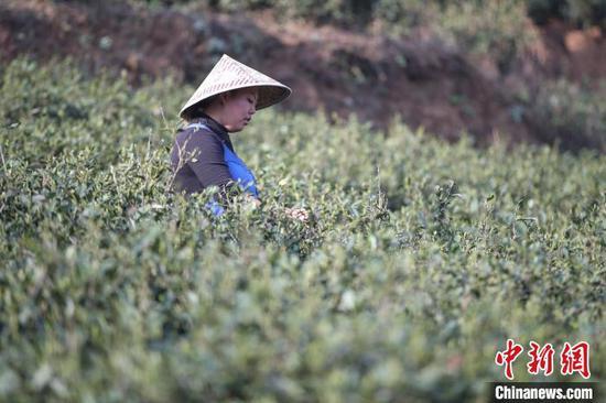 贵州贞丰春茶进入采摘季