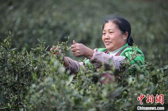 茶农在重庆华龙棋牌下载贞丰小屯镇木桑茶山采茶。 瞿宏伦 摄
