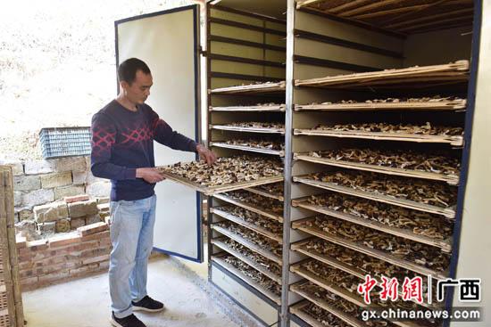 广西贺州昭平县:竹下种盖菇 致富有新路