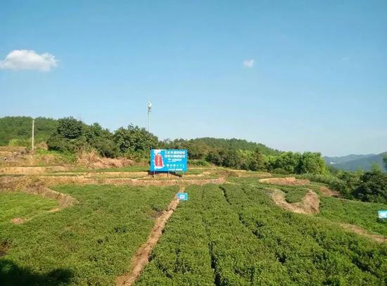 王老吉凉茶仙草种植基地
