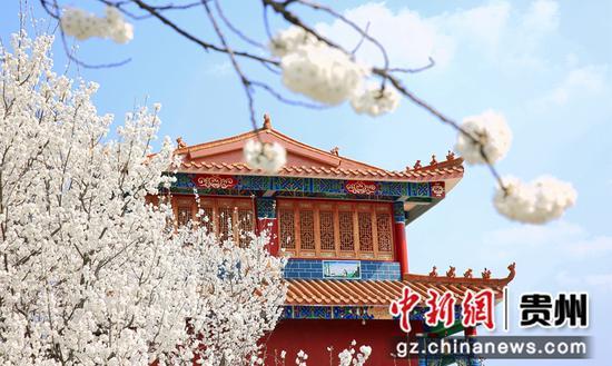 贵州毕节七星关区:万亩樱花迎春绽放