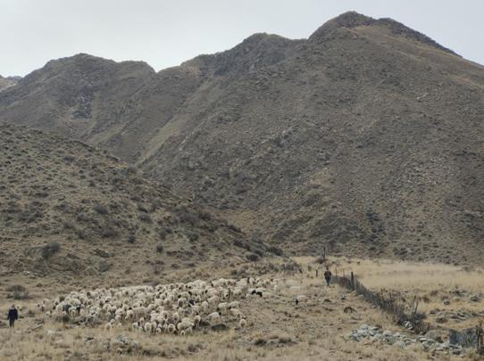 新疆和静:人勤春来早  牧民接羔忙