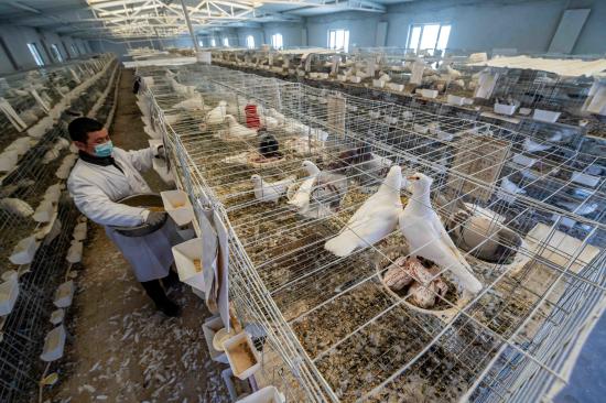新疆尉犁:肉鸽养殖引领村民致富