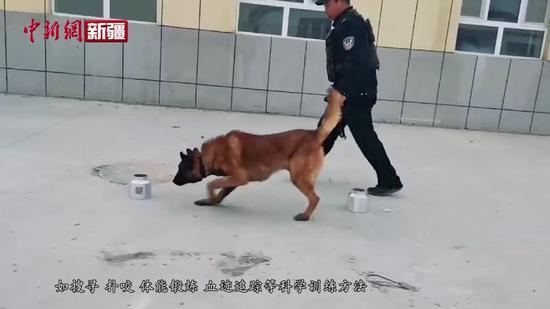 新疆一训导员每周抽血2次助警犬早投入工作