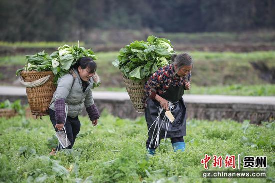 图为农户在转运儿菜。