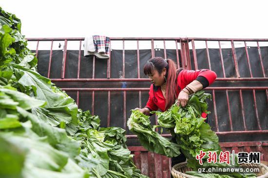 图为农户将儿菜整理到运输车上。