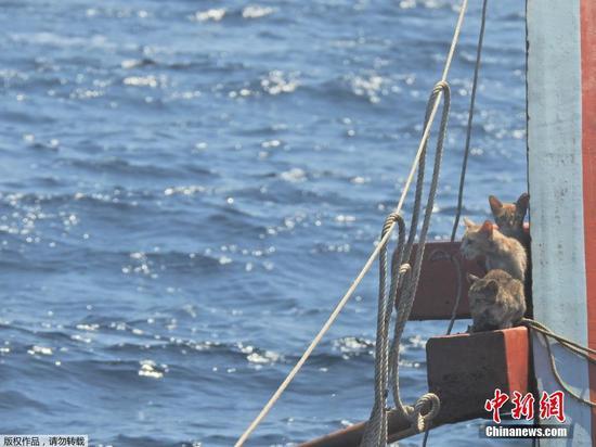 当地时间3月2日,安达曼海,一名泰国海军士兵游向倾覆的船只,营救被困在船上的几只猫咪。营救行动顺利完成,猫咪们趴在士兵的肩膀上获救。