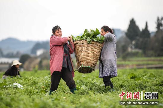 图为农户采收儿菜后准备转移。