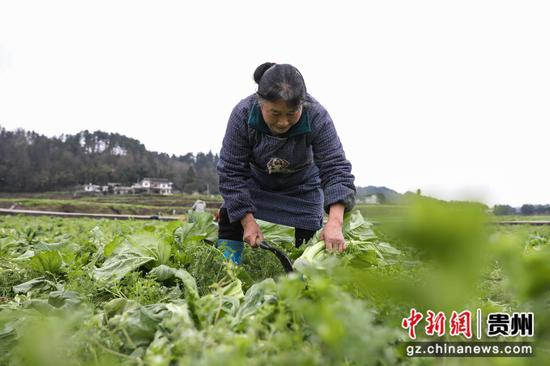 图为农户在采收儿菜。