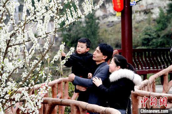 图为一家三口在赏李花。黄庆松
