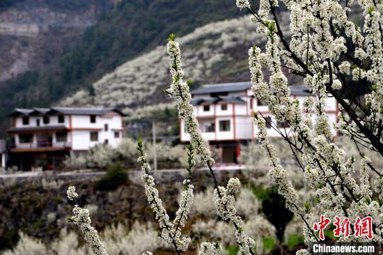 图为满山遍野的李花。黄庆松