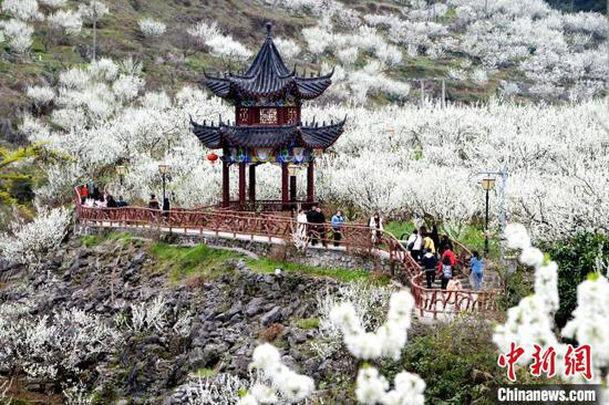 贵州沿河数万亩李花盛开