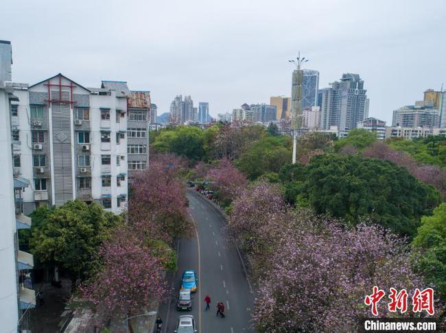 航拍广西柳州20余万株洋紫荆花盛开