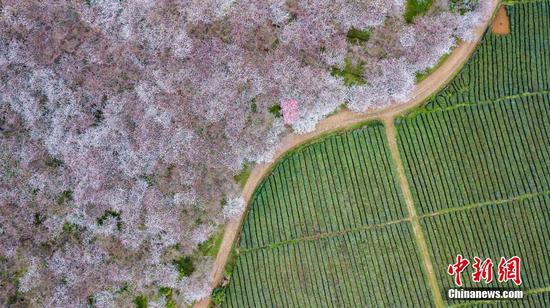 贵州万亩樱花绽放 空中俯瞰如云似雪