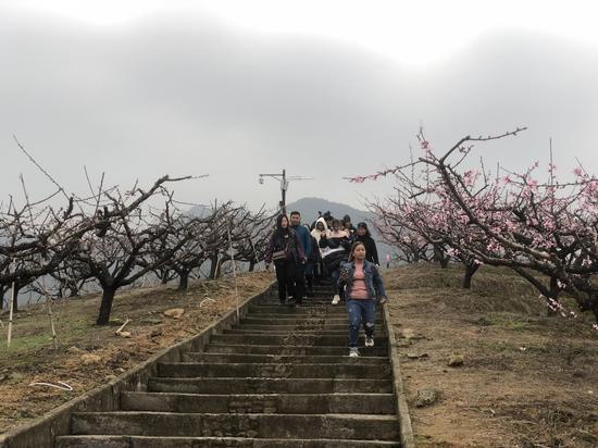 寧波市奉化區桃花綻放吸引民眾賞花。 林波 攝