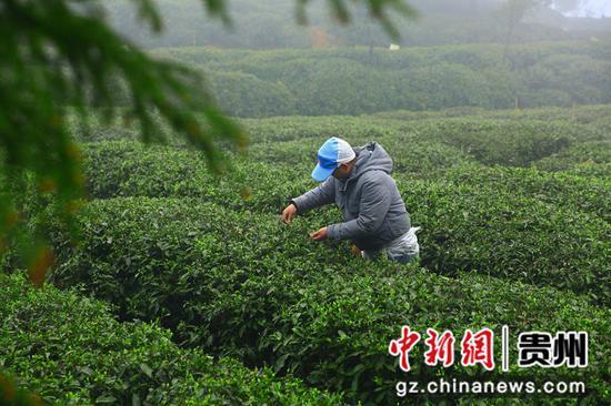 贵州毕节七星关:高山茶飘香 采茶正当时