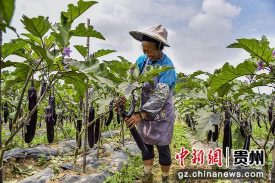 东屯乡蔬菜种植基地茄子丰收 袁琴书 摄