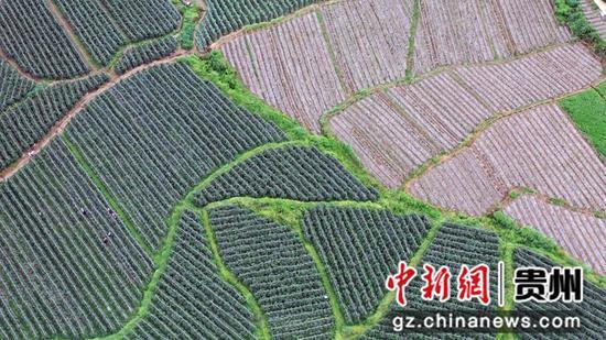 西秀区旧州镇茶岭村嫁接苗种植区 西秀区委宣传部供图