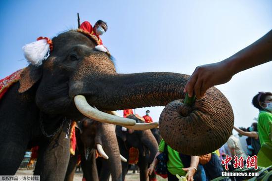 当地时间3月13日,泰国大城府举行大象日庆?;疃?。图为民众给大象们喂食。