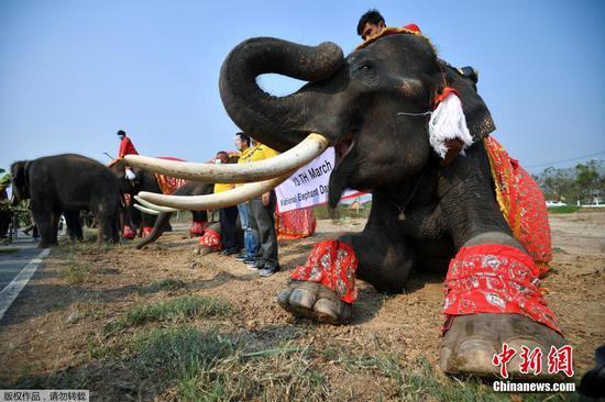 当地时间3月13日,泰国大城府举行大象日庆?;疃?。图为庆?;疃殖?。
