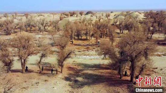 """新疆天然胡杨林正值抚育期 防病虫害护林员给树木""""洗澡"""""""