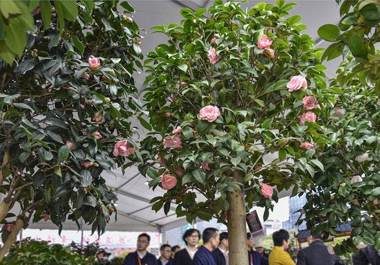 """在金华婺城,朵朵山茶花变身""""致富花""""。 吴潮宏 摄"""