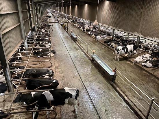 """探訪奶牛養殖區:24小時自由吃喝 控溫室內"""""""