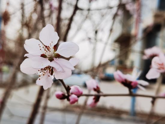 新疆兵团第一师七团:桃红柳绿又一春