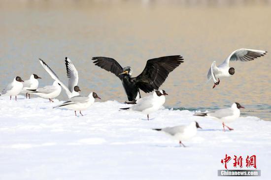 """新疆博乐滨河公园来了""""新客人""""鸬鹚"""