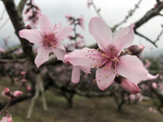 寧波市奉化區桃花綻放。 林波 攝