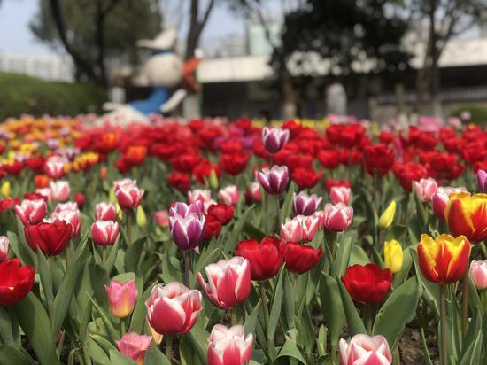 寧波市江北區一公園郁金香綻放。  林波 攝
