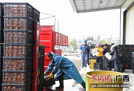 """广西兴安县界首镇发展为""""桂林柑橘第一镇"""""""