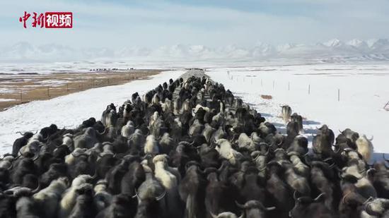 巴音布鲁克草原开启牲畜春季转场