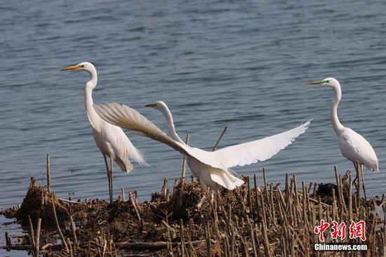 新疆博斯腾湖冰雪消融 候鸟春归