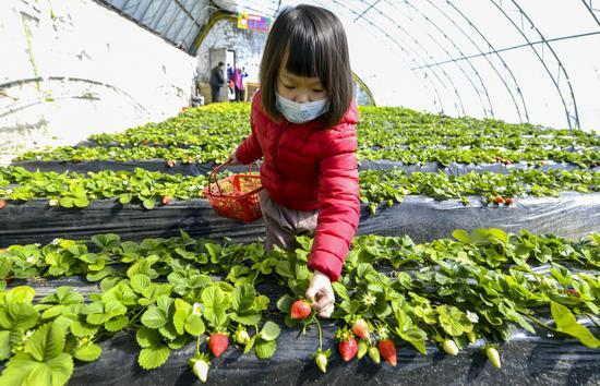 乌鲁木齐南郊推广草莓新品种 帮助农民增收致富