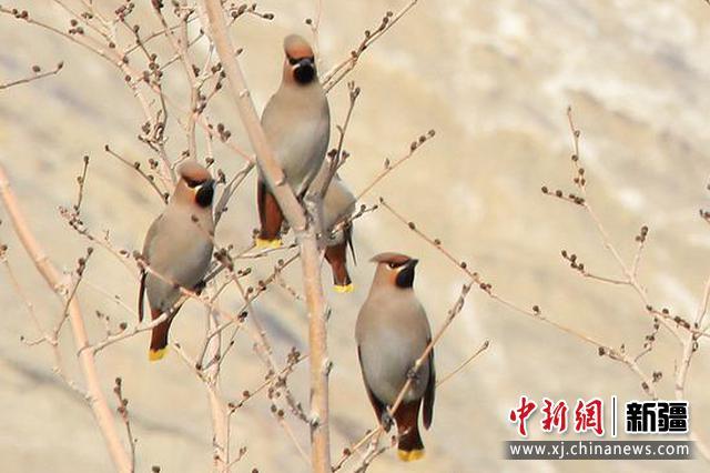 """""""春天最帅的鸟儿"""" 新疆天山天池出现""""大背头""""鸟"""