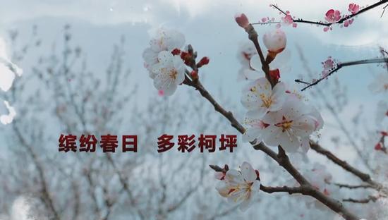 ?南疆柯坪:漫野盛开的杏花邀您共赴一场魅力之约
