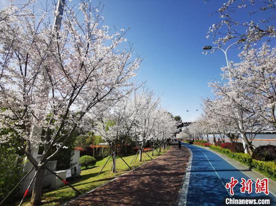 粉嫩樱花扮靓杭州城:路尽之处皆春意