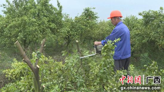 """广西荔浦市开展""""退果还粮""""行动 挖掘粮食生产潜能"""