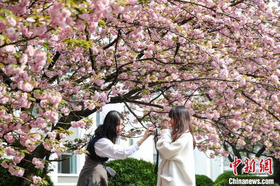 貴州民大校園櫻花爛漫吸引學生觀賞
