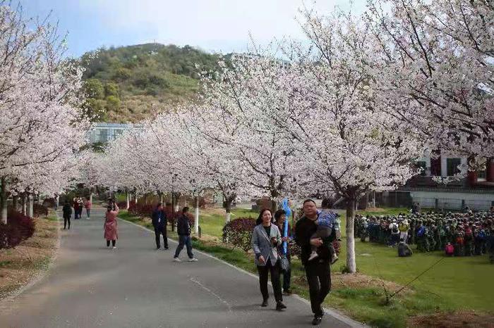 芝樱盛开场景。王溪 摄