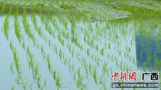 象州:抛秧神器助力春耕